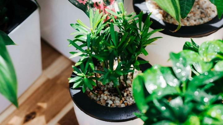 Cây nội thất trồng trong nhà
